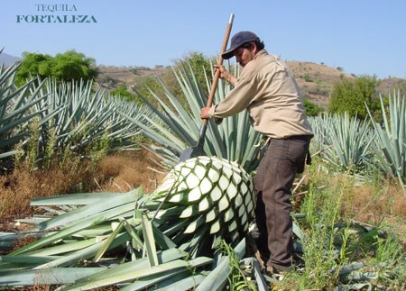 Blue Agave Tequila Plant Our Process   Tequila ...